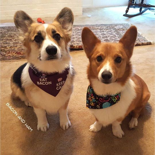 Bacon and Ham, Corgi Brothers