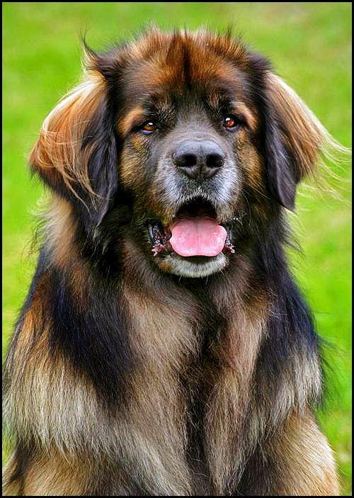 Bernese Mountain Dog Newfoundland Mix | Dog Breeds Picture