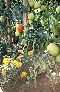 Tomaten und Tagetes im Gewächshausbeet    *Neu: Kleingewächshaus-Kalender*  http://www.kleingewaechshaus.de/kleingewaechshaus-kalender/kleingewaechshaus-kalender.html    #gewächshaus