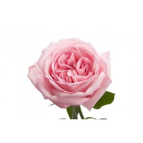 Premium Pink O Hara Garden Roses In 2020 Light Pink Rose Pink