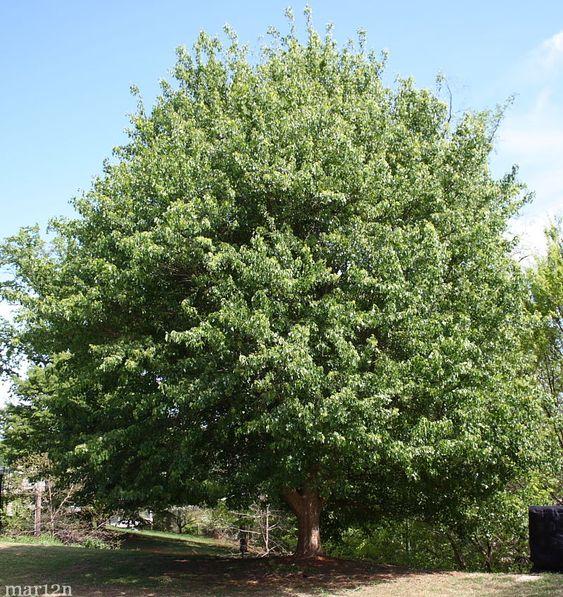 Trident Maple - Acer buergerianum