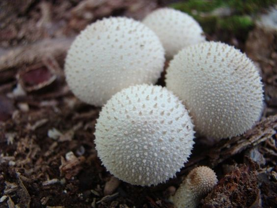 Spiny puffball mushrooms - from a wooded area near me kbeck8261