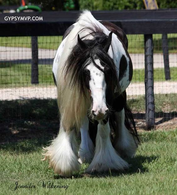 Gypsy Vanner Horses for Sale | Mare | Piebald | Memory