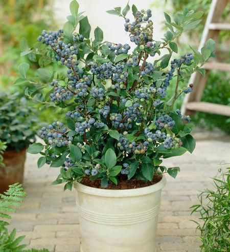 Rabbiteye Blueberry Bushes - 8ft bushes. can plant 3ft apart to make privacy hedge. can produce 15lb berries ea
