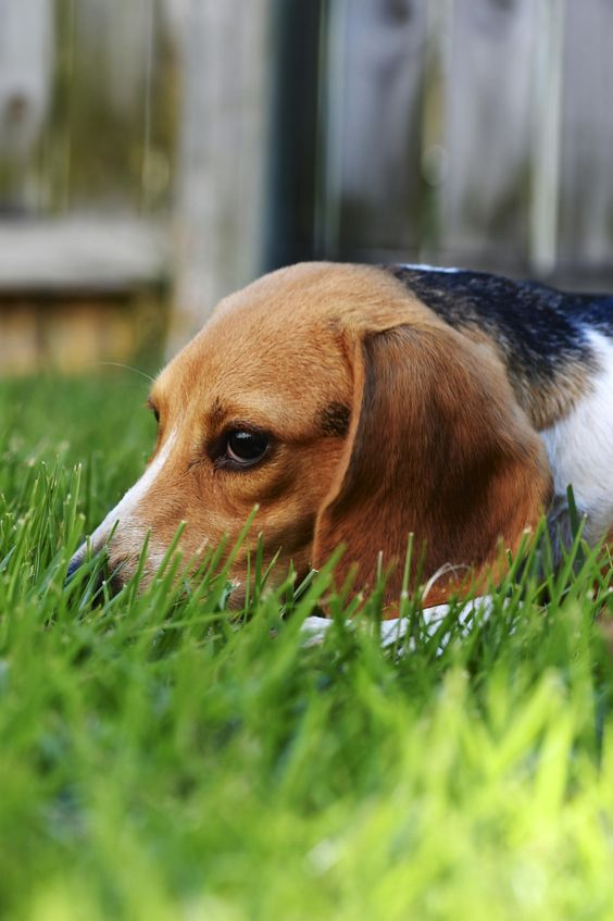Beagle Dog resting in the Grass