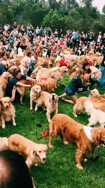 Vsco Kylielutton Goldenretriever Cute Animals Cute Dogs