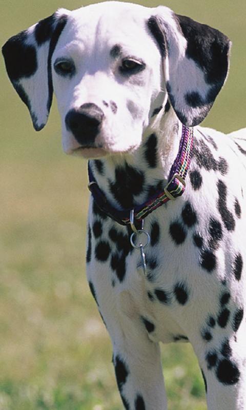 Dalmatian Puppy                                                                                                                                                     Más