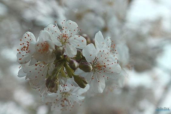 Kirschblüte - null
