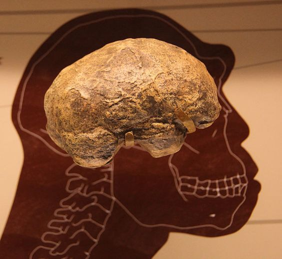 As hominids evolved from Australopithecus to the genus Homo, brains and bodies both grew dramatically. It has traditionally been believed that both traits were naturally selected for their survival advantage, independently but at the same time.