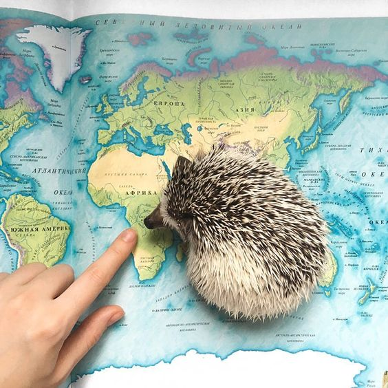 Нашёл свою Родину на карте ✈️ ____________________ #hogybaby #hedgehog #instagood #instadaily #pet #cutepets #cutie #love #africa…