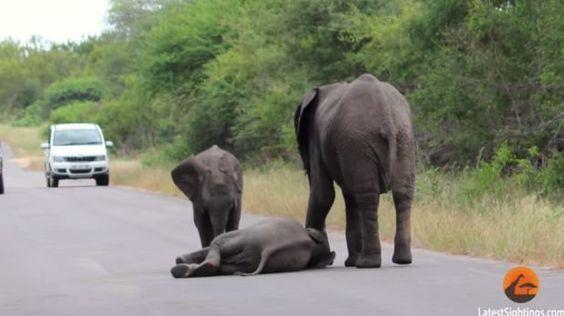 YouTube: pequeño elefante es salvado por manada tras colapsar