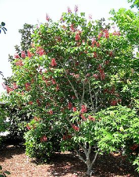 Pinterest the world s catalog of ideas for Small dwarf ornamental trees