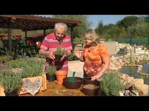 Levandule vám provoní skříň i zažene moly, tak si ji vypěstujte www.telereceptar.cz - YouTube