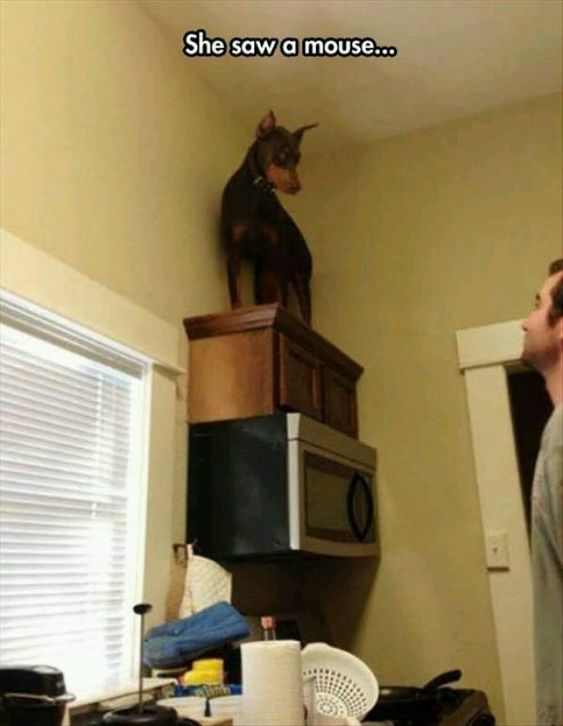 She saw a mouse - funny dog pictures - http://jokideo.com/: