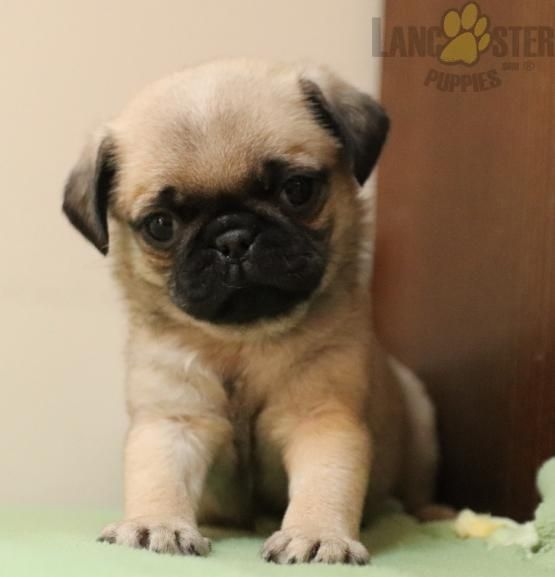 Angel Pug Puppy For Sale In Paradise Pa Lancaster Puppies In