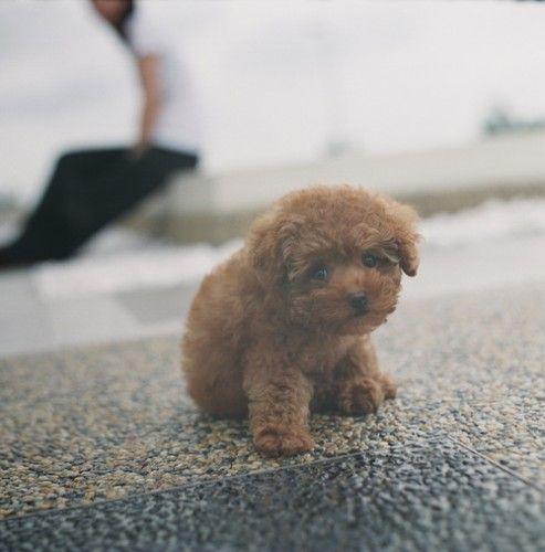 Poodle puppy.