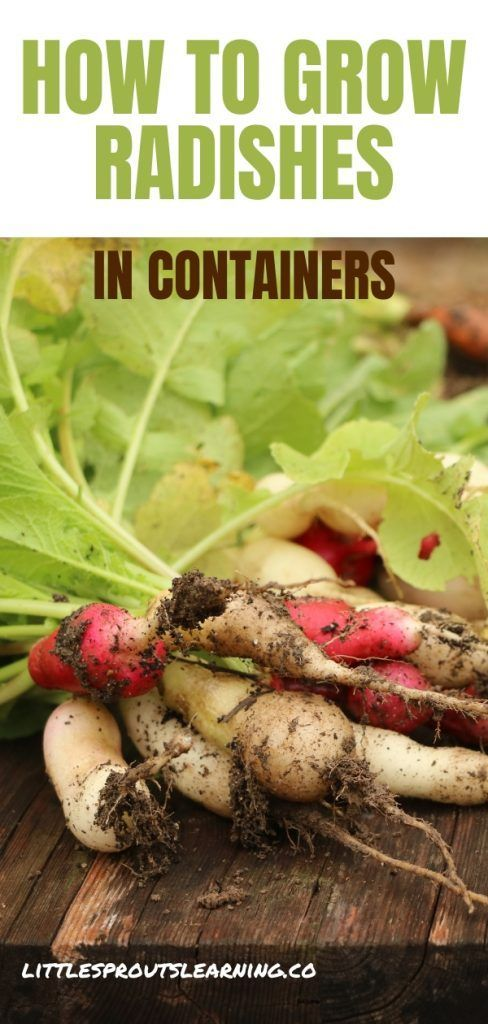 Growing Radishes In Containers Easy Vegetables To Grow French