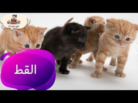 معلومات عن حيوان القط للأطفال بدون موسيقى من راويتي تروي قصة Youtube Cats Animals