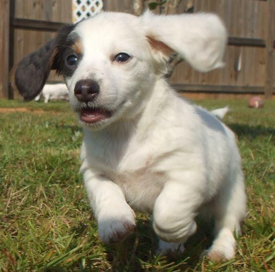 Hair Dachshund Puppy In White And Dark Spots Running On The Grass