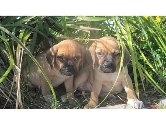 listing Stunning PUGGLE PUPPIES! Beagle/PUG Hybr... is published on Free Classifieds USA online Ads - http://free-classifieds-usa.com/for-sale/animals/stunning-puggle-puppies-beaglepug-hybrid-microchip-health-guarantee_i36191