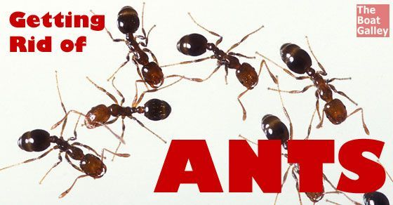 Ant Infestation With Images Get Rid Of Ants Types Of Ants