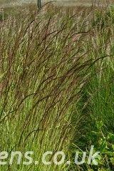 Calamagrostis varia124