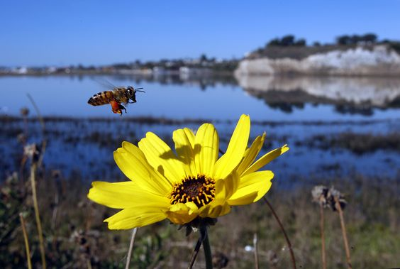 A bee comes in for a landing on a Black-eyed Susan on the first day of spring at the Upper Newport Bay Ecological Preserve in Newport Beach, California.