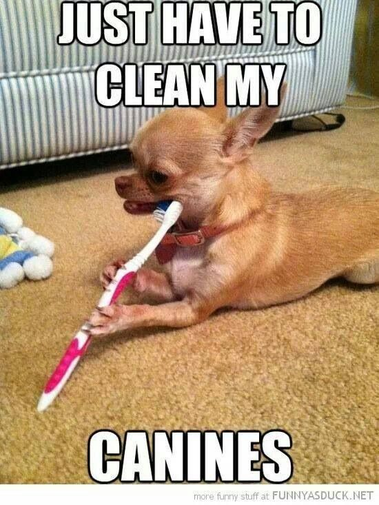 Chihuahua Cleaning His Her Canines Dental Fun Pet Dental Health