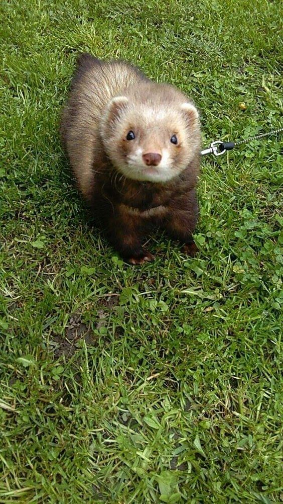 10 Reasons Ferrets Would Make Great Pets Baby Ferrets Funny