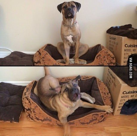 "Sit vs ""Wanna go to the park?""#cute #puppy #corgi #funny #atleasthetried #laugh #animal #Yizzam"