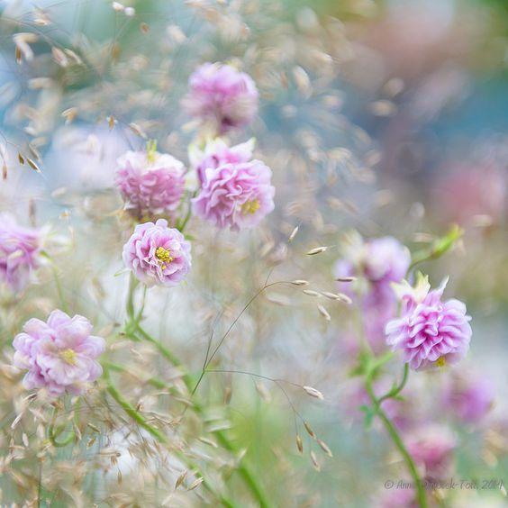 Chelsea Aquilegia | by Anna Omiotek -Tott Garden Photography
