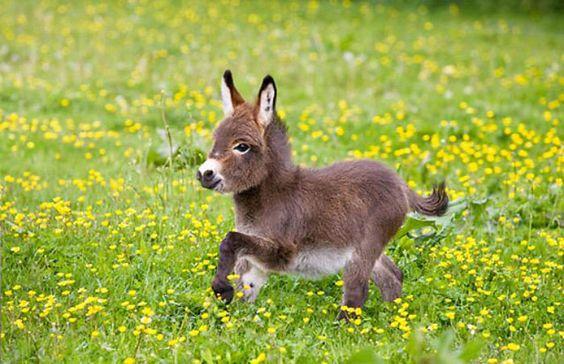 13 bonnes raisons d'abandonner tous vos projets et d'adopter un âne nain ! Attention, craquage imminent…