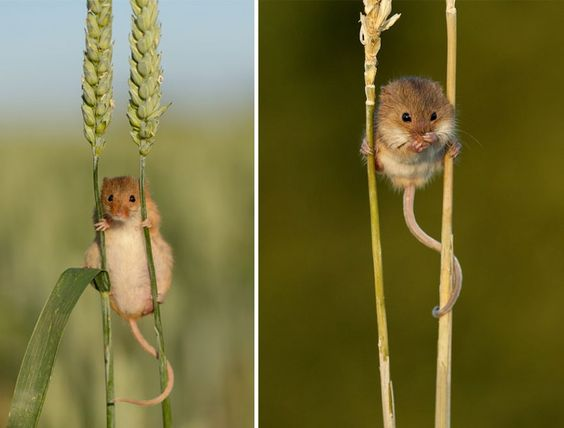 rato selvagem