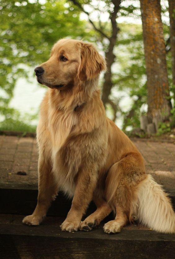 Beautiful Golden Retriever #goldenretriever #goldens #doglovers #livingthegoldenlife #dogslife #goldenretrievers #goldenretrieverlove #goldenretrieverlife #goldenretrieverlovers