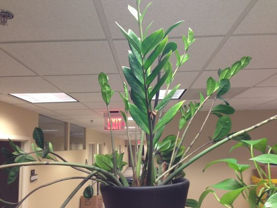 Zz plant zamioculcas zamiifolia this is a zz plant an for Low maintenance indoor plants low light