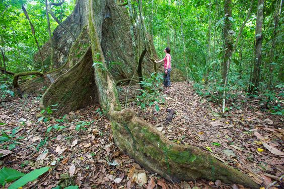 A tourist admires a tree in the Amazon Rainforest near Rurrenabaque, Amazon Basin, Bolivia, South Am... - Cuan Hansen/Gallo Images/Getty Images