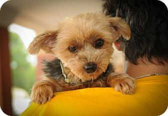 N. Babylon, NY - Yorkie, Yorkshire Terrier. Meet Desiree, a dog for adoption. http://www.adoptapet.com/pet/15800292-n-babylon-new-york-yorkie-yorkshire-terrier