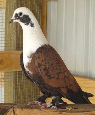 My Lahori Shirazi Pair - Pigeon-Talk