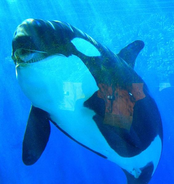 Kohanna From Shamu Dictionary