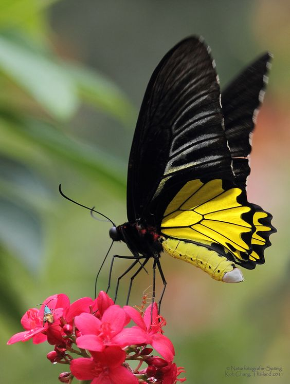 Golden Birdwing Butterfly (Troides aeacus) by Koh Chang