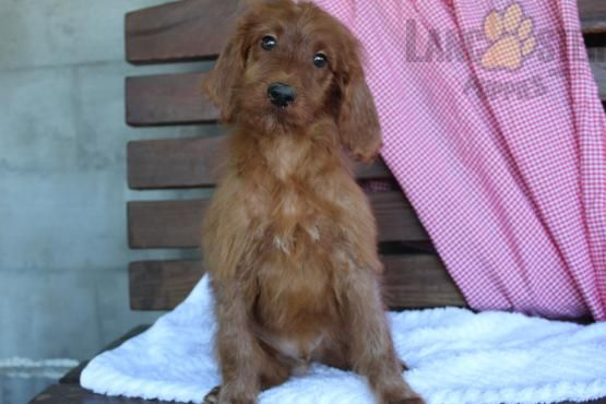 King Irish Doodle Puppy For Sale In Danville Oh Buckeye Puppies Irish Doodle Puppies For Sale Doodle Puppy