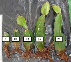 O tamanho do cladódio interfere no percentual de enraizamento e no desenvolvimento das mudas. Estacas formadas por cladódios de 15 a 25 cm são as mais indicadas para a formação de mudas de Pitaya vermelha.