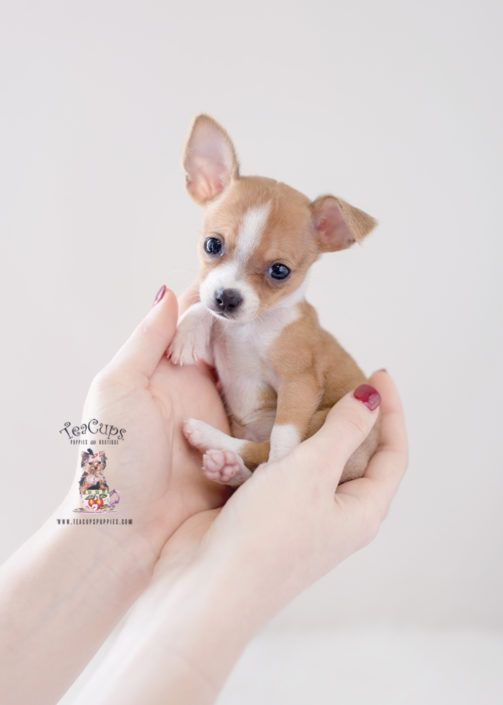Pin By Grace On Cute Puppies Teacup Puppies Teacup Chihuahua