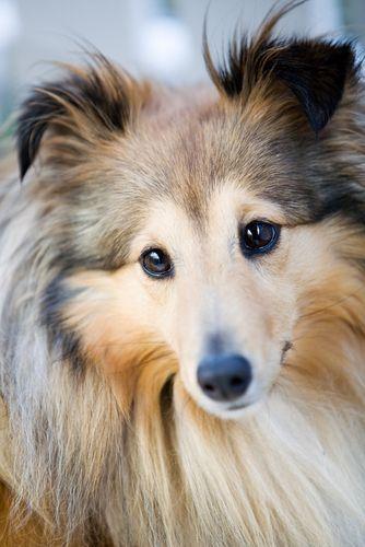 Best Bully Sticks Breed Spotlight: Shetland Sheepdog   Best Bully Sticks Healthy #Dog Blog