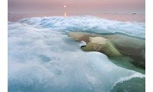 Hudson Bay, Canada, a young female bear, some 30 miles offshore where the bear slipped into the water to hunt seals..