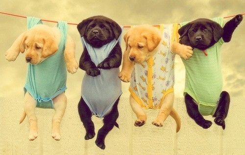 puppies  :) I just want to kiss and kiss on the chocolate ones!!