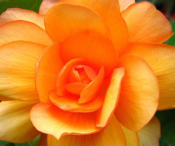 Orange Begonia v/Flickr.