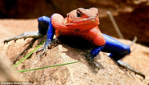 Strike a pose: The brightly-coloured Mwanza Flat Headed Agama lizard mimics Spidey's famous crouch.