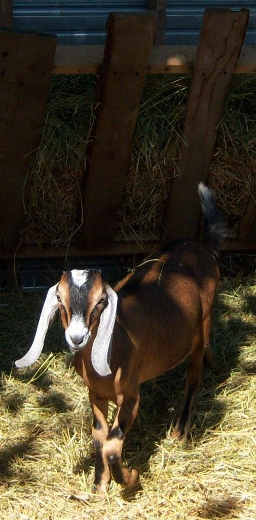 Goat Farming Everything you need to know about raising ... Raising Goats