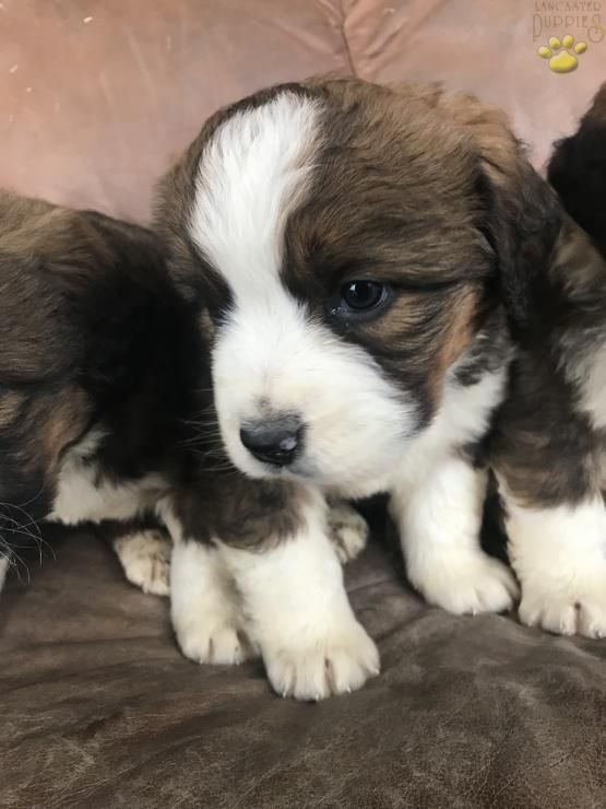 Bertha Bernese Mountain Dog Mix Puppy For Sale In Fresno Oh